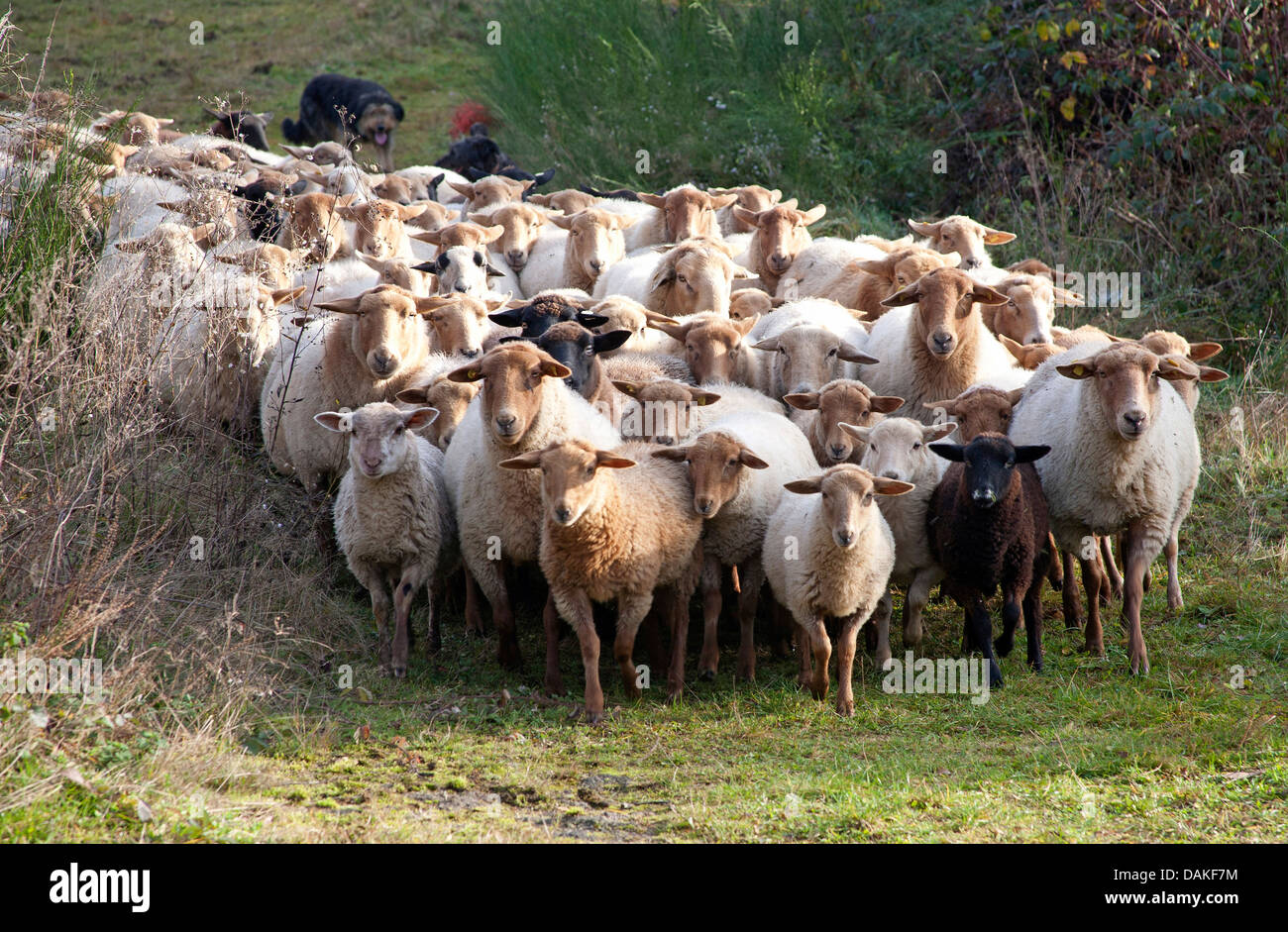 domestic sheep (Ovis ammon f. aries), flock of sheep walking on a path, Germany Stock Photo