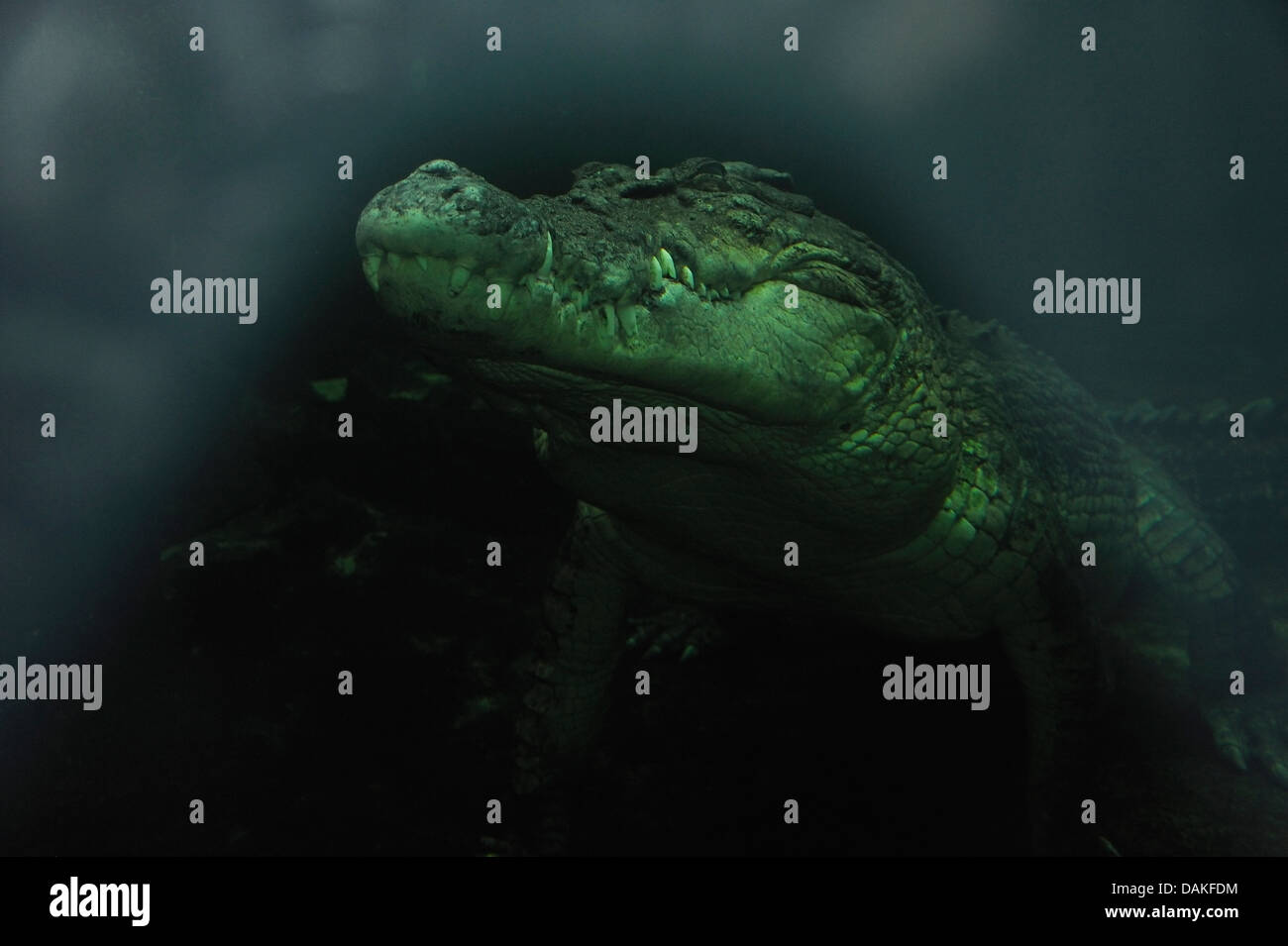 Estuarine saltwater crocodile, (Crocodylus porosus)Australia. Photo taken under water - Stock Image
