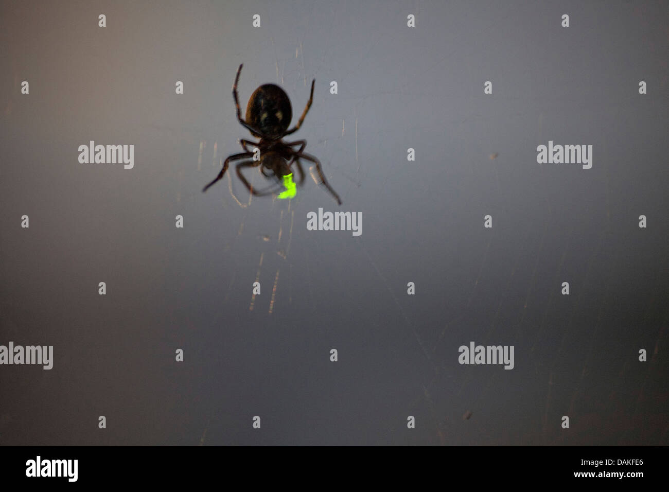 glowworms, fireflies, lightning bugs (Lampyridae), spider in its web at night with caught lightning beetle, Germany Stock Photo