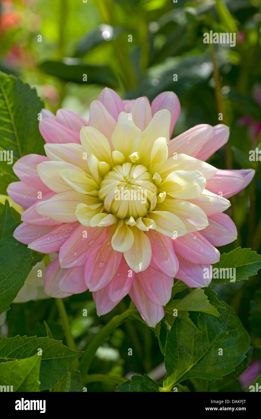 georgina (Dahlia 'Bel Amour', Dahlia Bel Amour), cultivar Bel Amour - Stock Image
