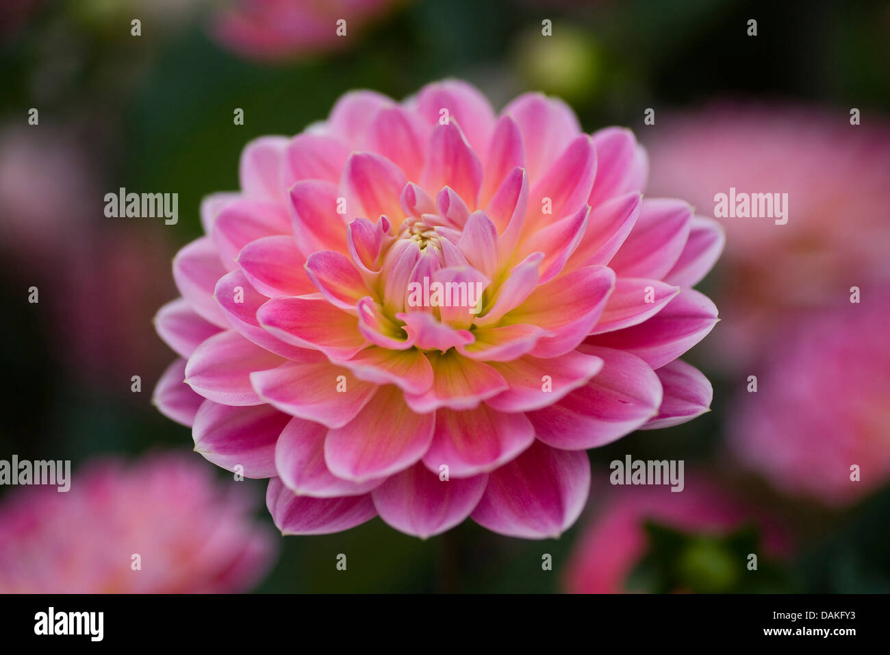 georgina (Dahlia 'Hapet Elite', Dahlia Hapet Elite), cultivar Hapet Elite - Stock Image