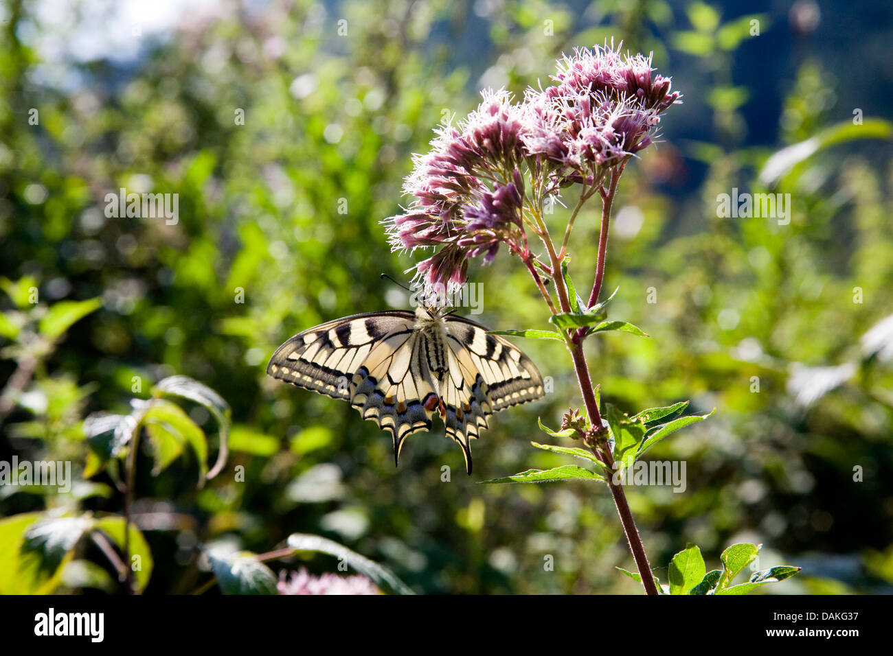 swallowtail (Papilio machaon), sucking nectar at swallowtail, Eupatorium cannabinum, Germany - Stock Image