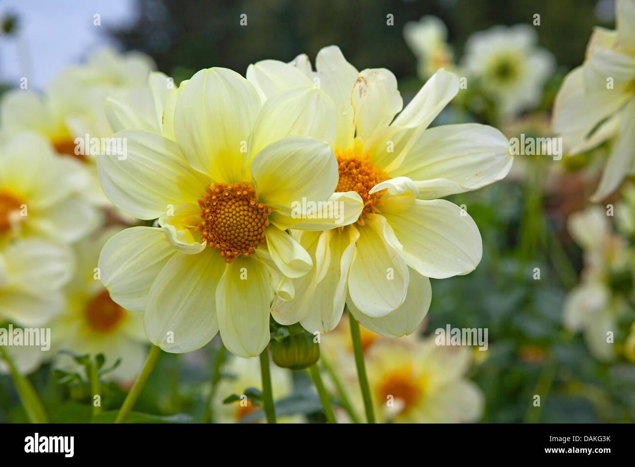 georgina (Dahlia 'Luna', Dahlia Luna), cultivar Luna - Stock Image