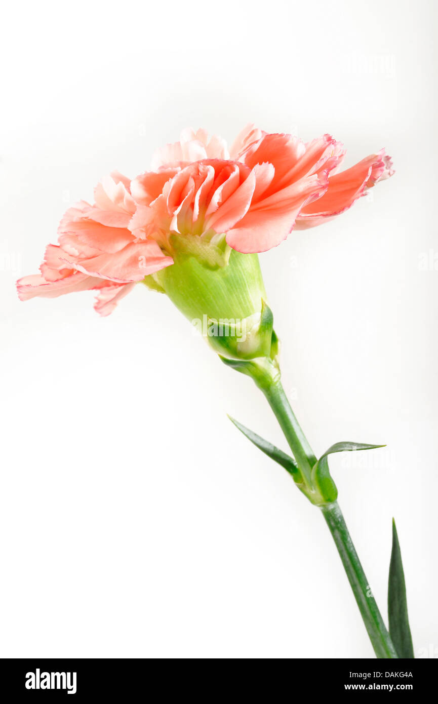 carnation on white background - Stock Image