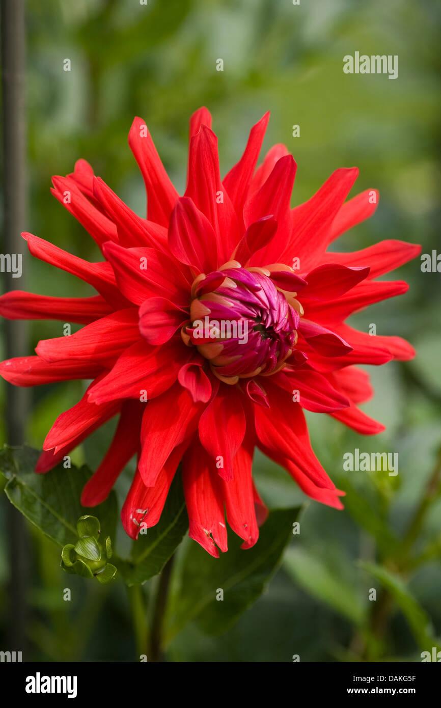 georgina (Dahlia 'Obsession', Dahlia Obsession), cultivar Obsession - Stock Image