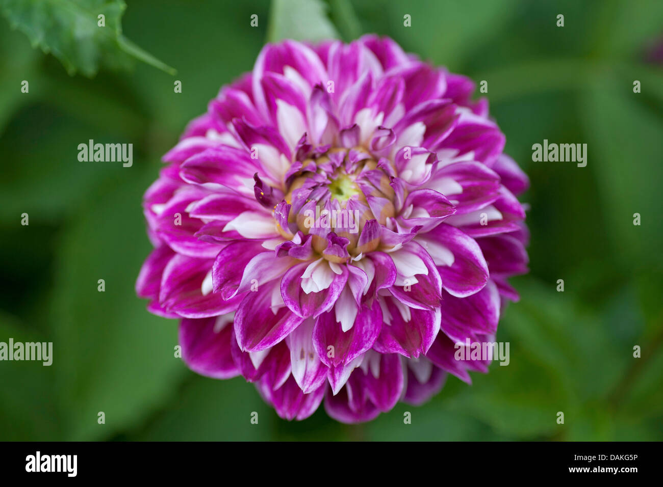 georgina (Dahlia 'Optic Illusion', Dahlia Optic Illusion), cultivar Optic Illusion - Stock Image