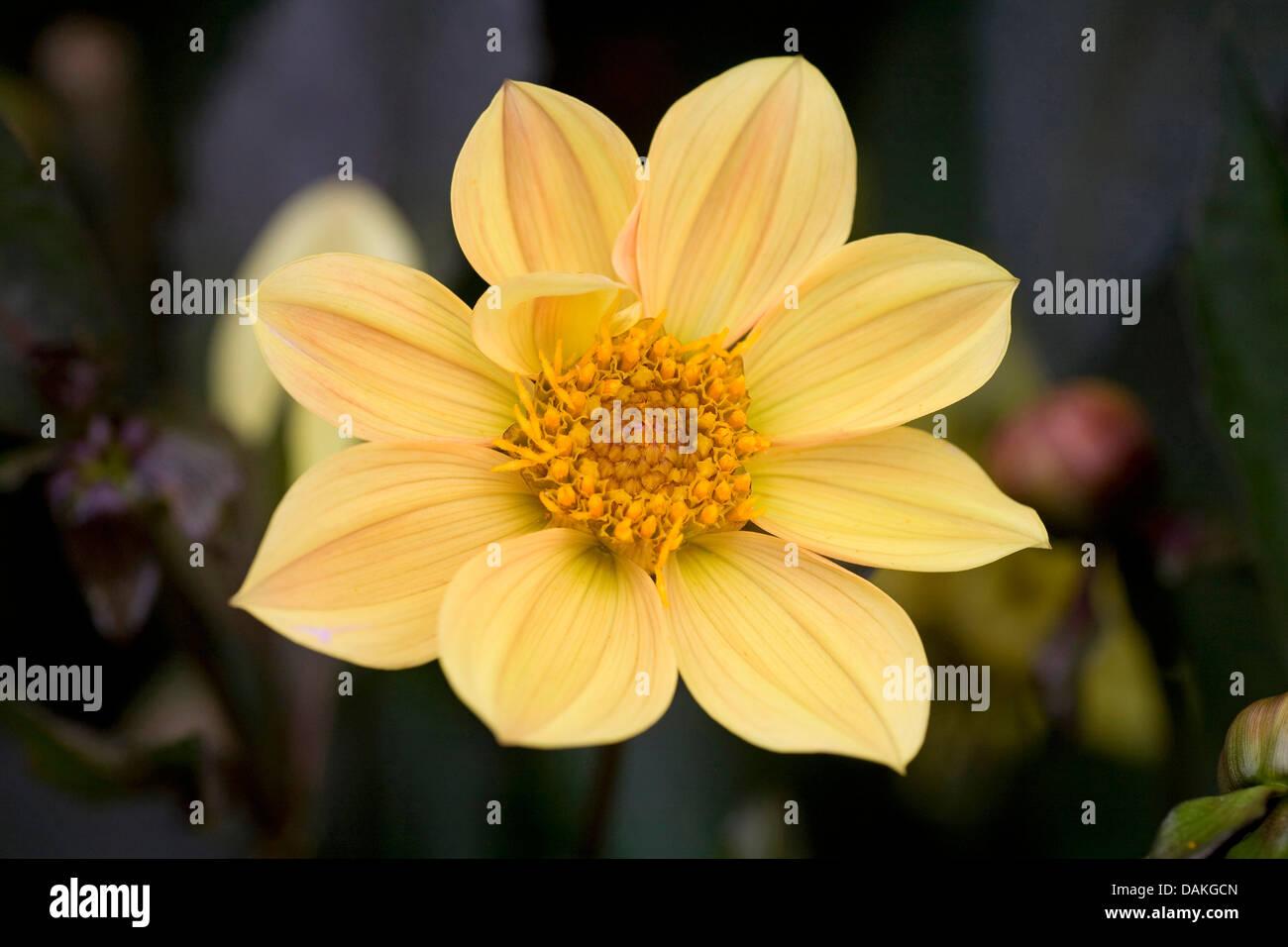 georgina (Dahlia 'Summertime', Dahlia Summertime), cultivar Summertime - Stock Image