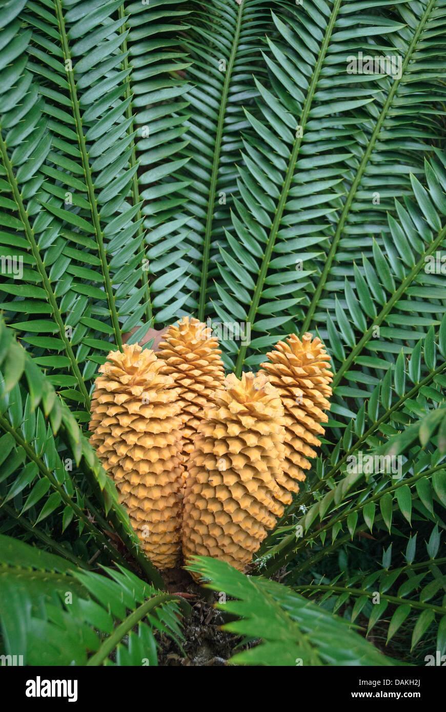 Lebombo cycad  (Encephalartos senticosus), with cones - Stock Image