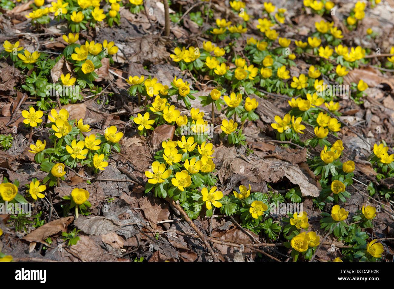 winter aconite (Eranthis hyemalis), blooming, Germany - Stock Image