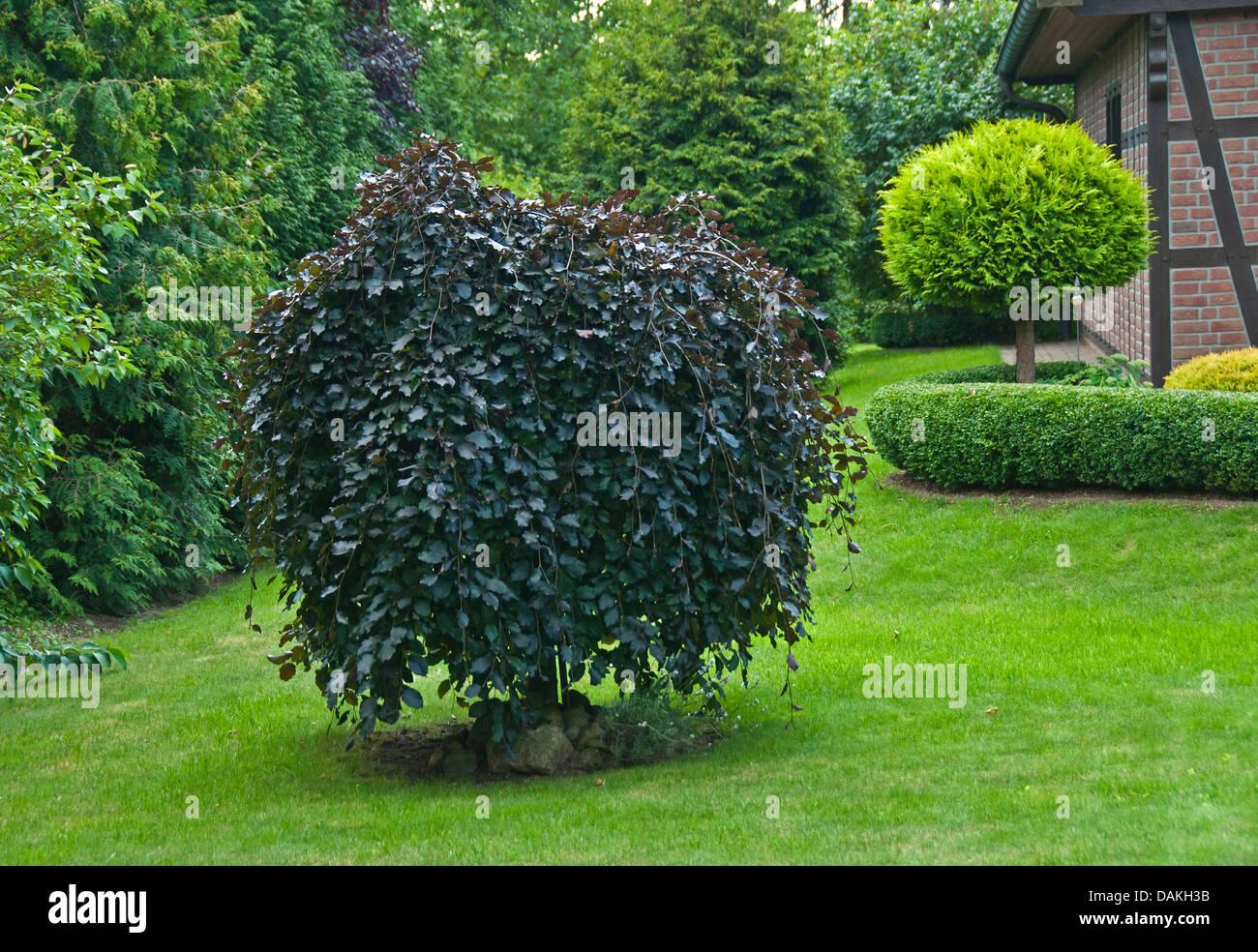 beech (Fagus sylvatica 'Purpurea Pendula', Fagus sylvatica Purpurea Pendula), cultivar Purpurea Pendula, - Stock Image