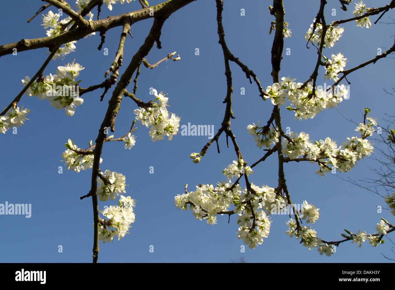 White plum blossom set against blue sky stock photo 58208191 alamy white plum blossom set against blue sky mightylinksfo