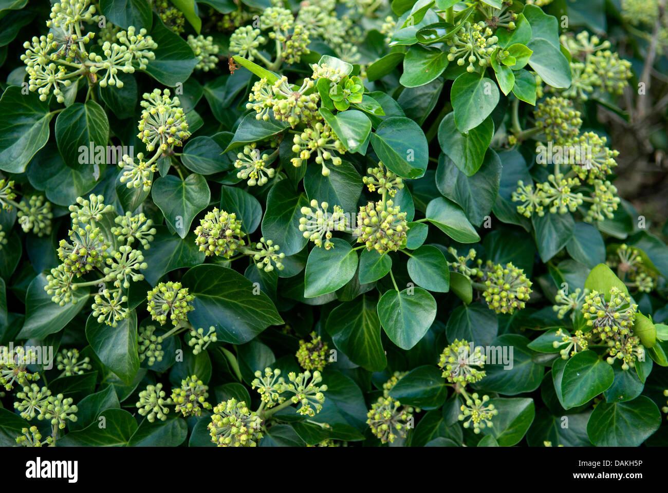 Ivy (Hedera helix 'Arbori Compact', Hedera helix Arbori Compact), cultivar Arbori Compact - Stock Image