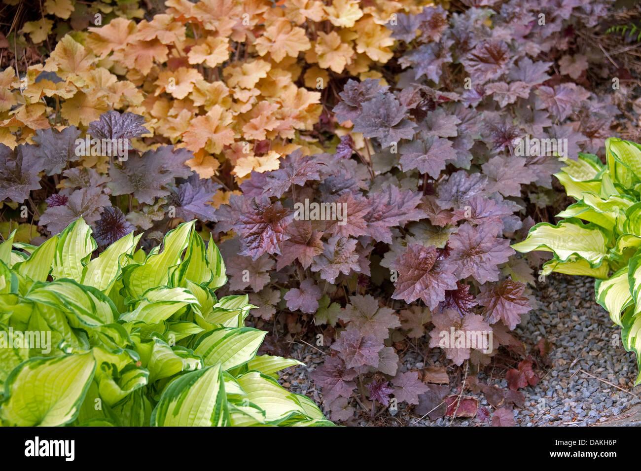 Heuchera  (Heuchera 'Palace Purple', Heuchera Palace Purple), cultivar Palace Purple - Stock Image