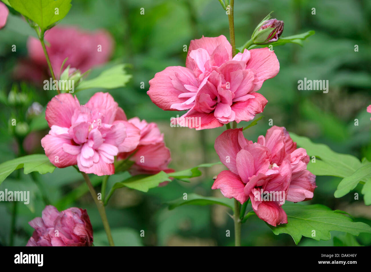 Rose Of Sharon Hibiscus Syriacus Stock Photos Rose Of Sharon