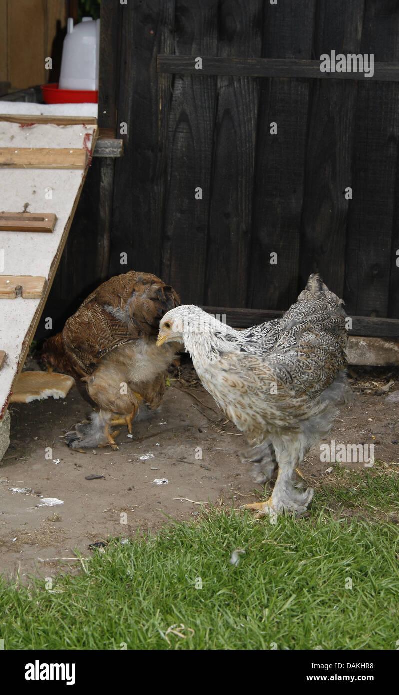 Brahma chickens looking for food in garden Gallus gallus domesticus - Stock Image