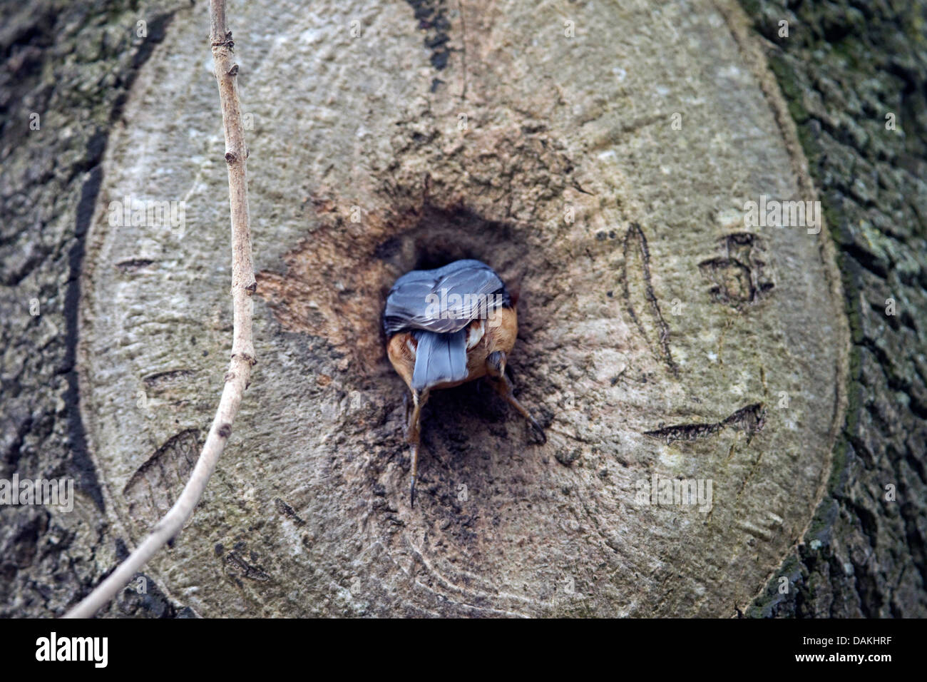 Eurasian nuthatch (Sitta europaea), slipping into the nest hole , Germany - Stock Image