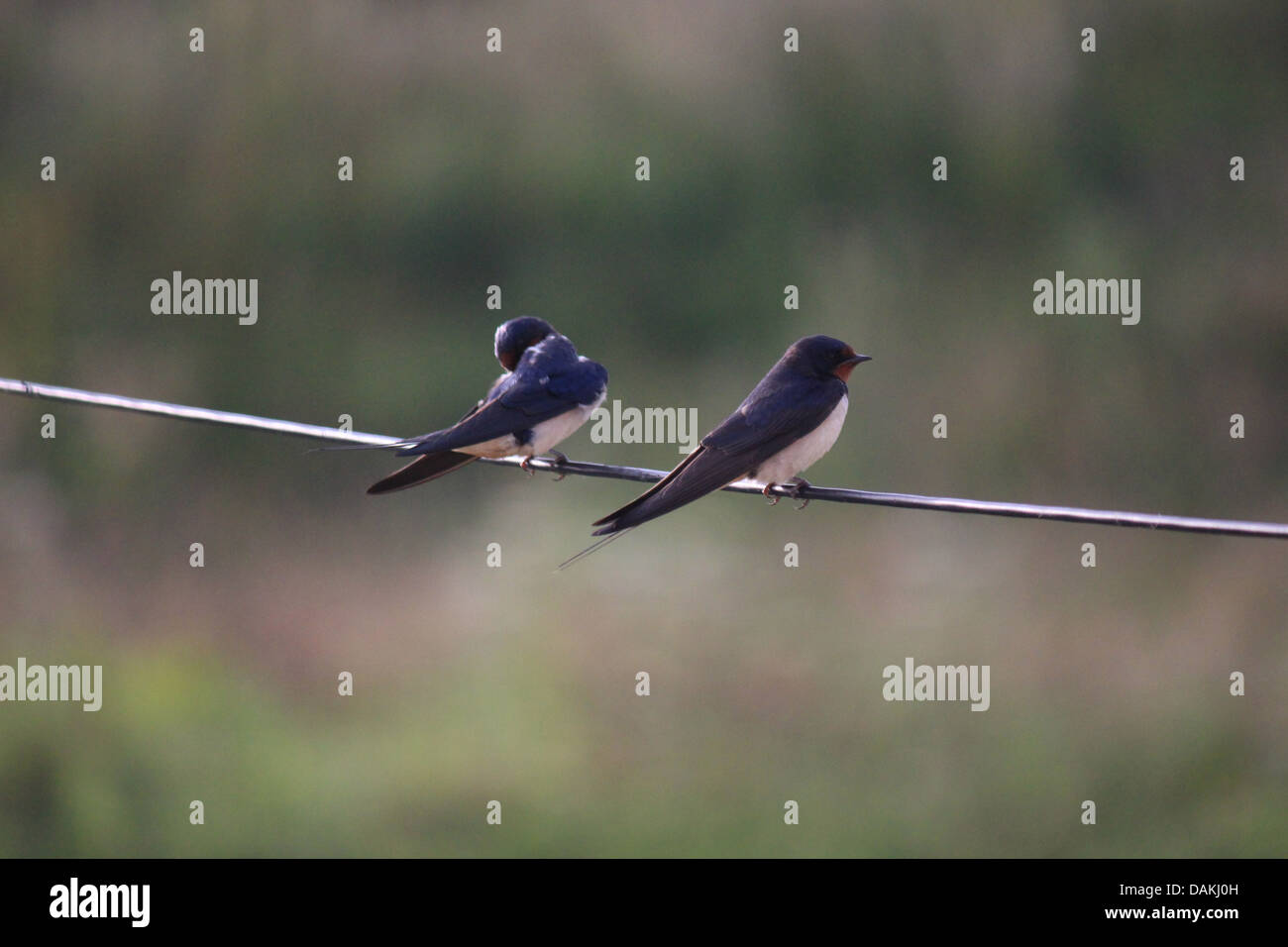 Birds On A Wire Stock Photos & Birds On A Wire Stock Images - Alamy