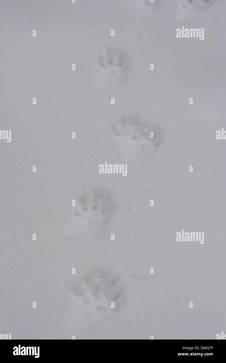 European pine marten (Martes martes), tracks in snow, Germany - Stock Image
