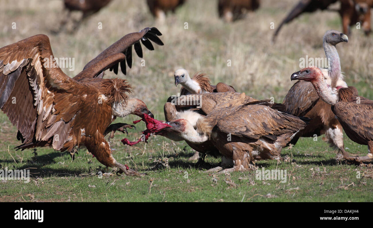 griffon vulture (Gyps fulvus), fighting jealousy about food for a piece of prey, Spain, Extremadura - Stock Image