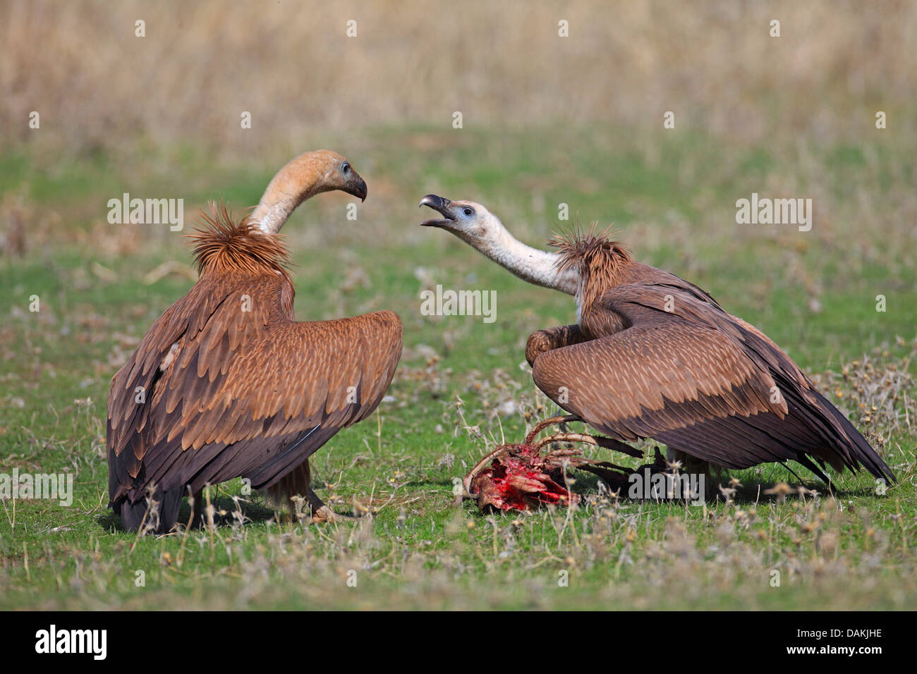 griffon vulture (Gyps fulvus), two young birds conflicting for feed, Spain, Extremadura - Stock Image
