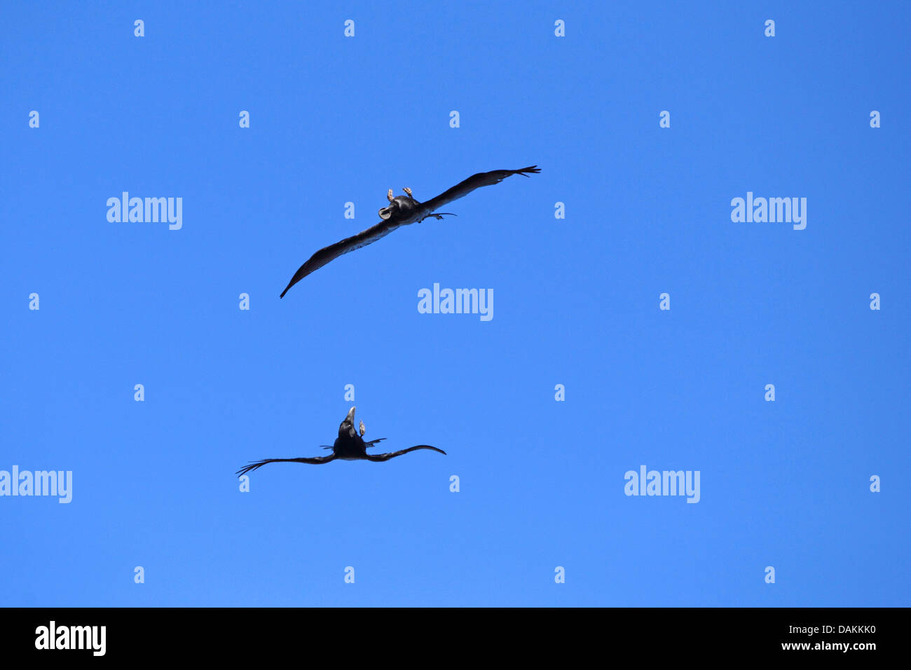 common raven (Corvus corax), two ravens flying with the back downwards, fighting for food, Canary Islands, La Palma - Stock Image