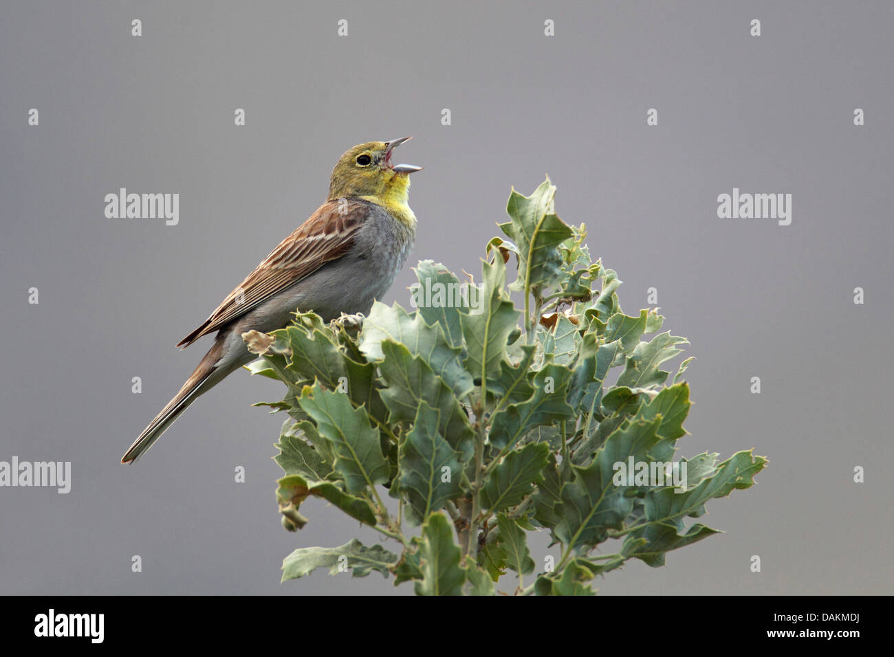 cinereous bunting (Emberiza cineracea), male sings from the top a an oak tree, Greece, Lesbos - Stock Image