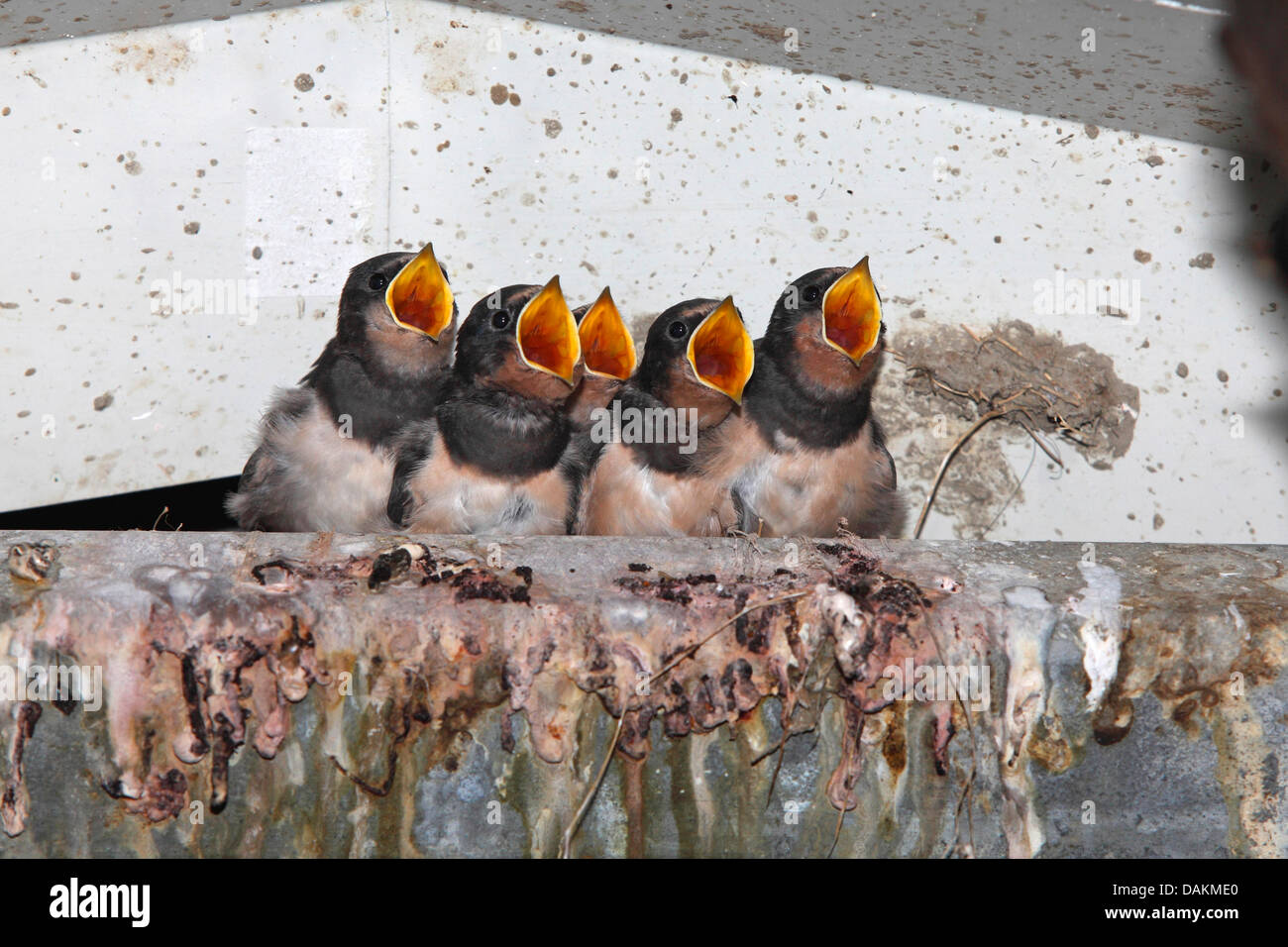 barn swallow (Hirundo rustica), young birds in the nest looking for the adult bird, that brings food, Netherlands, - Stock Image