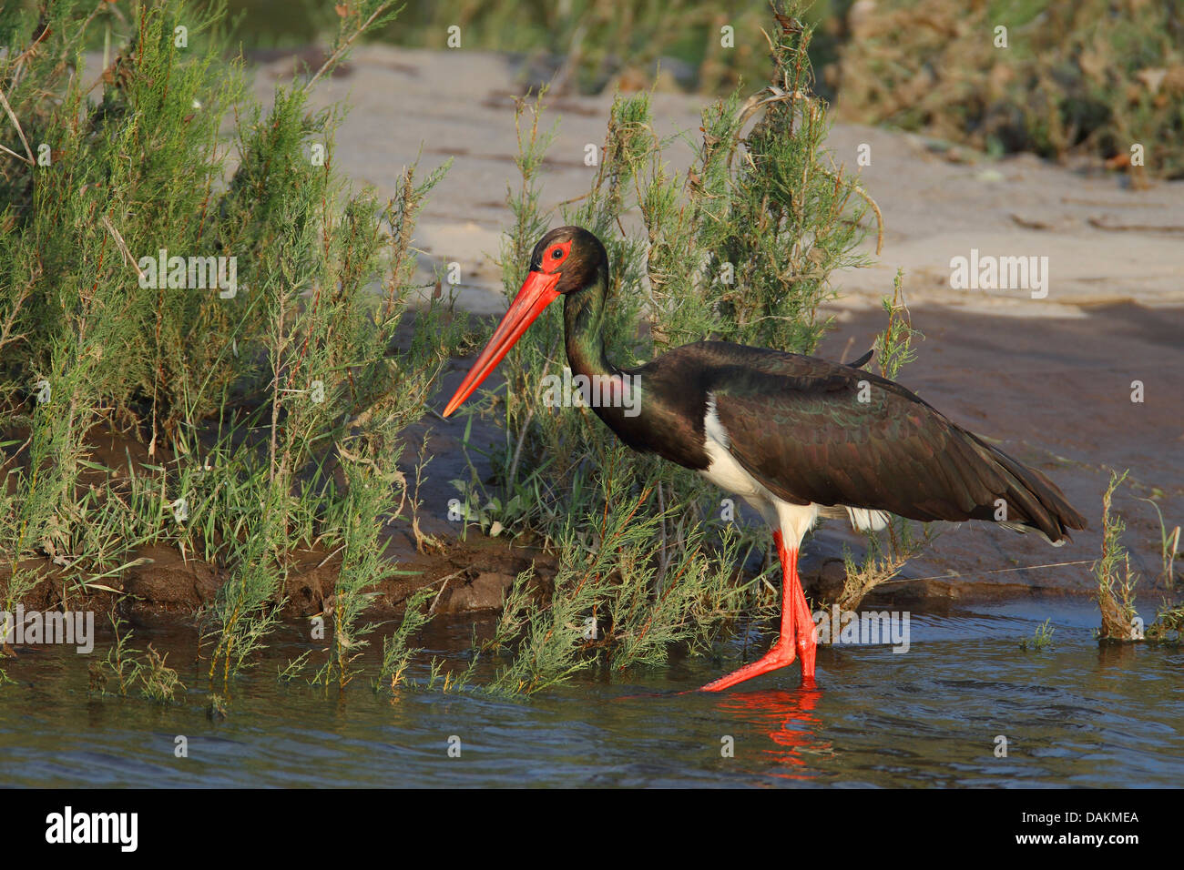 black stork (Ciconia nigra), looking for food in a river, Greece, Lesbos - Stock Image