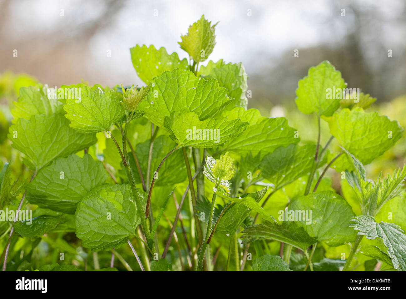 Garlic mustard, Hedge Garlic, Jack-by-the-Hedge (Alliaria petiolata), young leaves, Germany Stock Photo