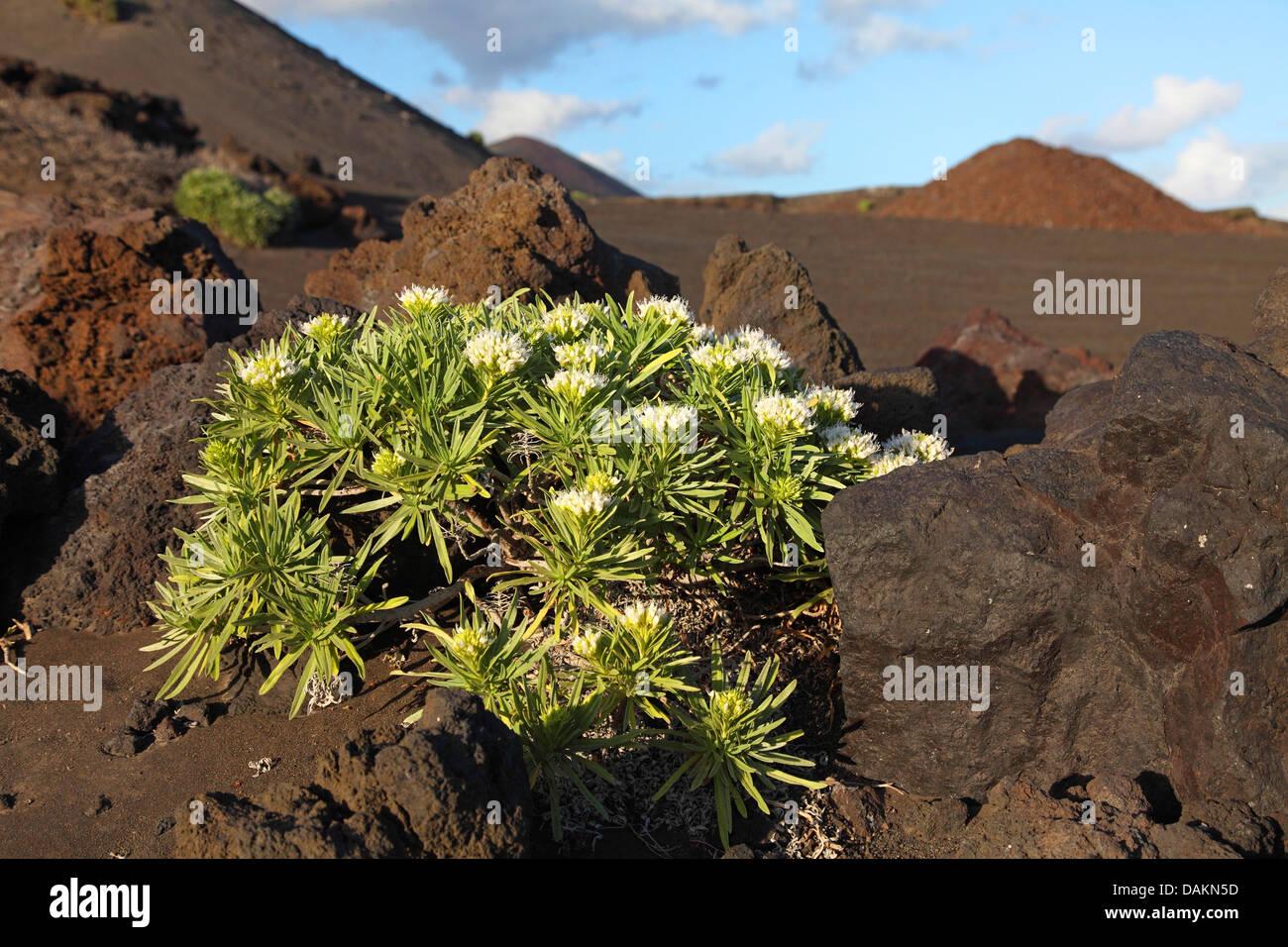 bugloss (Echium brevirame), bugloss growing in lava field, Canary Islands, La Palma, Fuencaliente - Stock Image