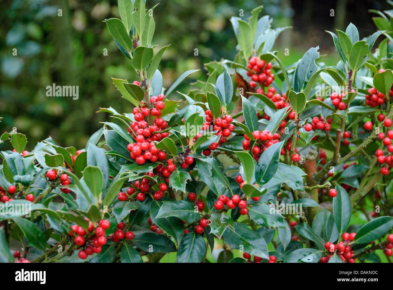 common holly, English holly (Ilex aquifolium 'JC van Tol', Ilex aquifolium JC van Tol), cultivar JC van - Stock Image