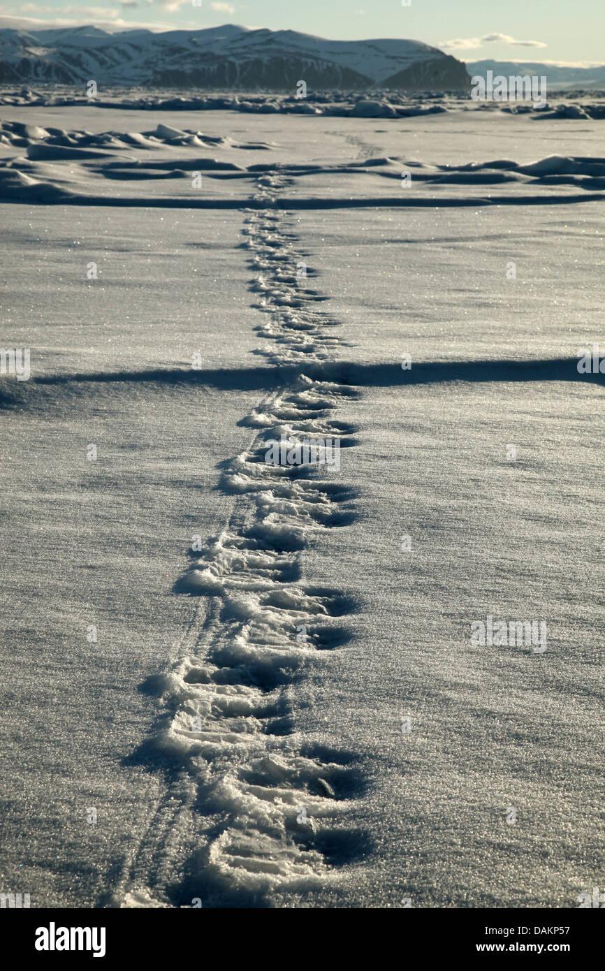 polar bear (Ursus maritimus), tracks of a polar bear in snow, Canada, Nunavut - Stock Image