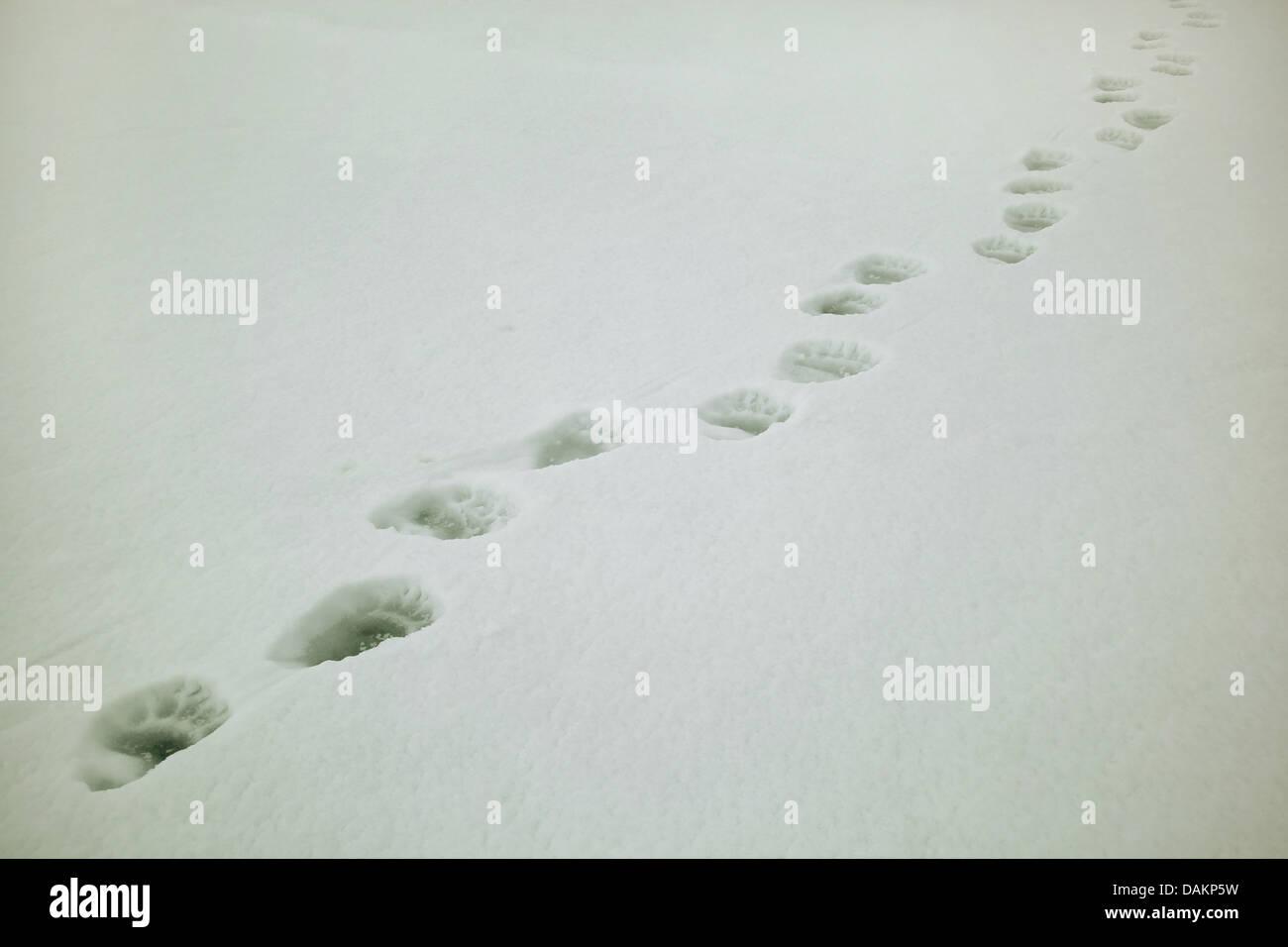 polar bear (Ursus maritimus), polar bear tracks in snow, Canada, Nunavut, Sirmilik National Park - Stock Image