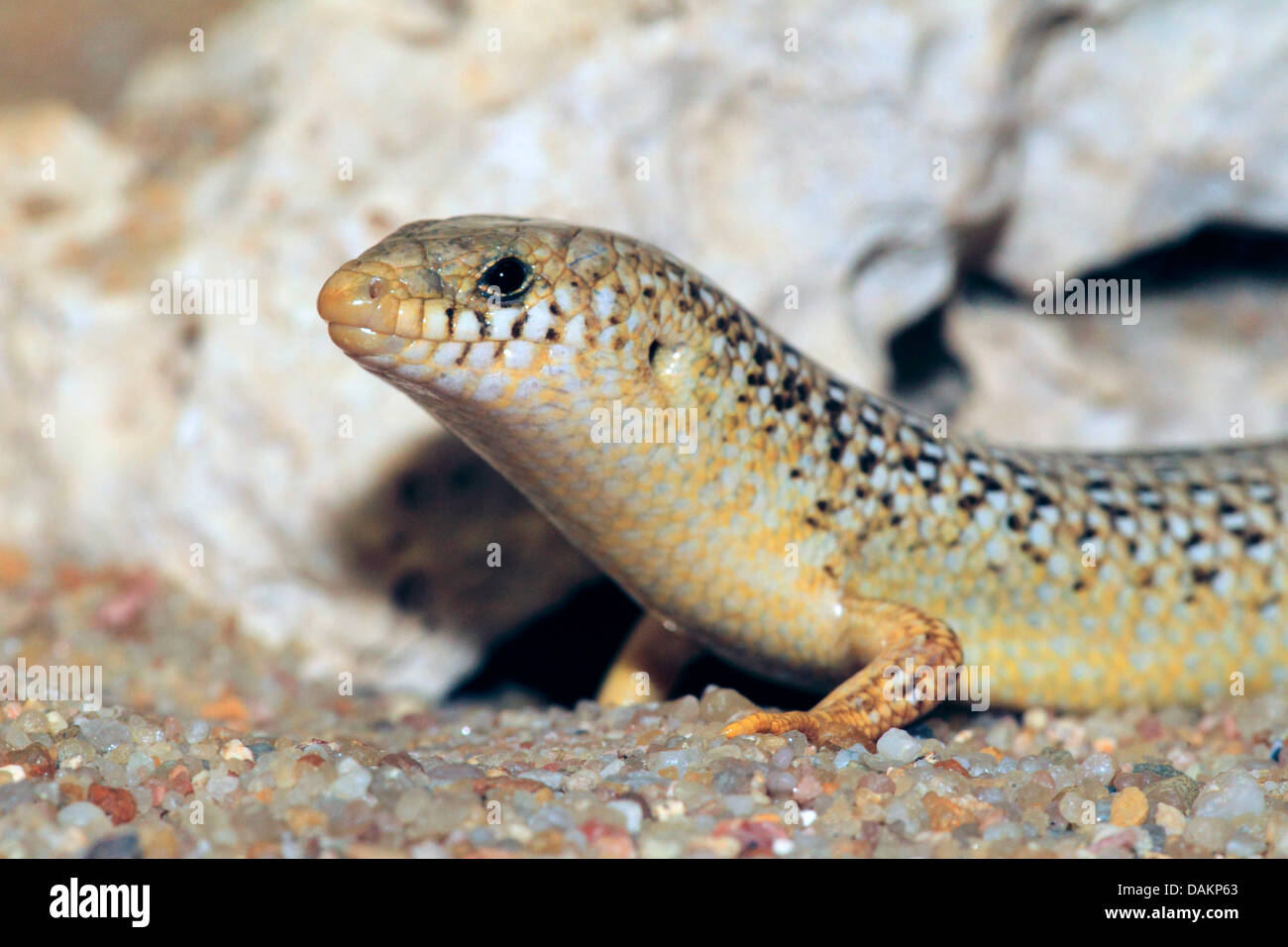 ocellated skink (Chalcides ocellatus), half length portrait - Stock Image