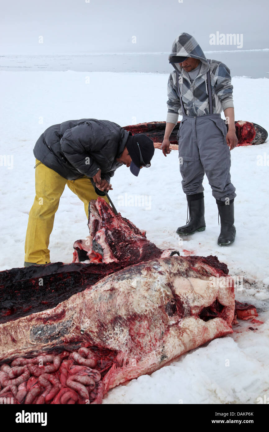 narwhal, unicorn whale (Monodon monoceros), Inuit hunters with hunted down narwhales, Canada, Nunavut - Stock Image