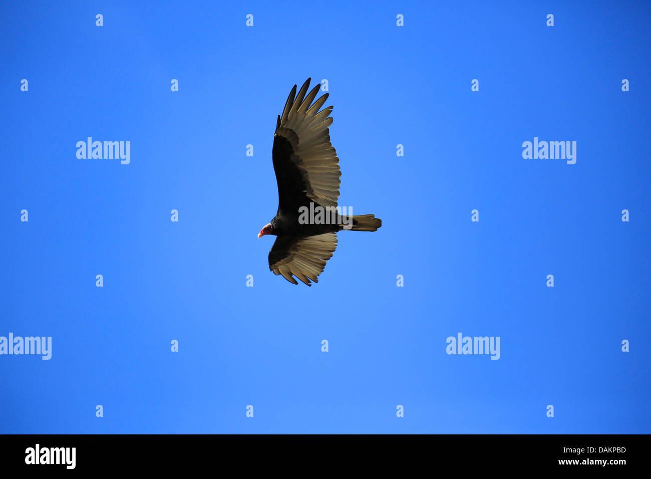 turkey vulture (Cathartes aura), in flight, Brazil - Stock Image
