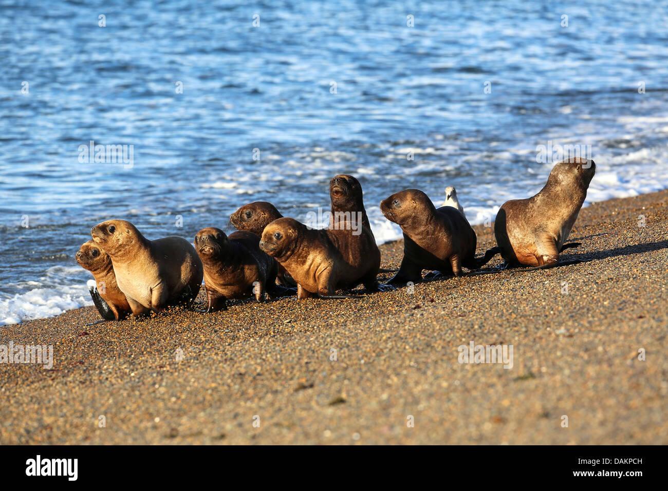 Southern Sea Lion South American Sea Lion Patagonian Sea Lion