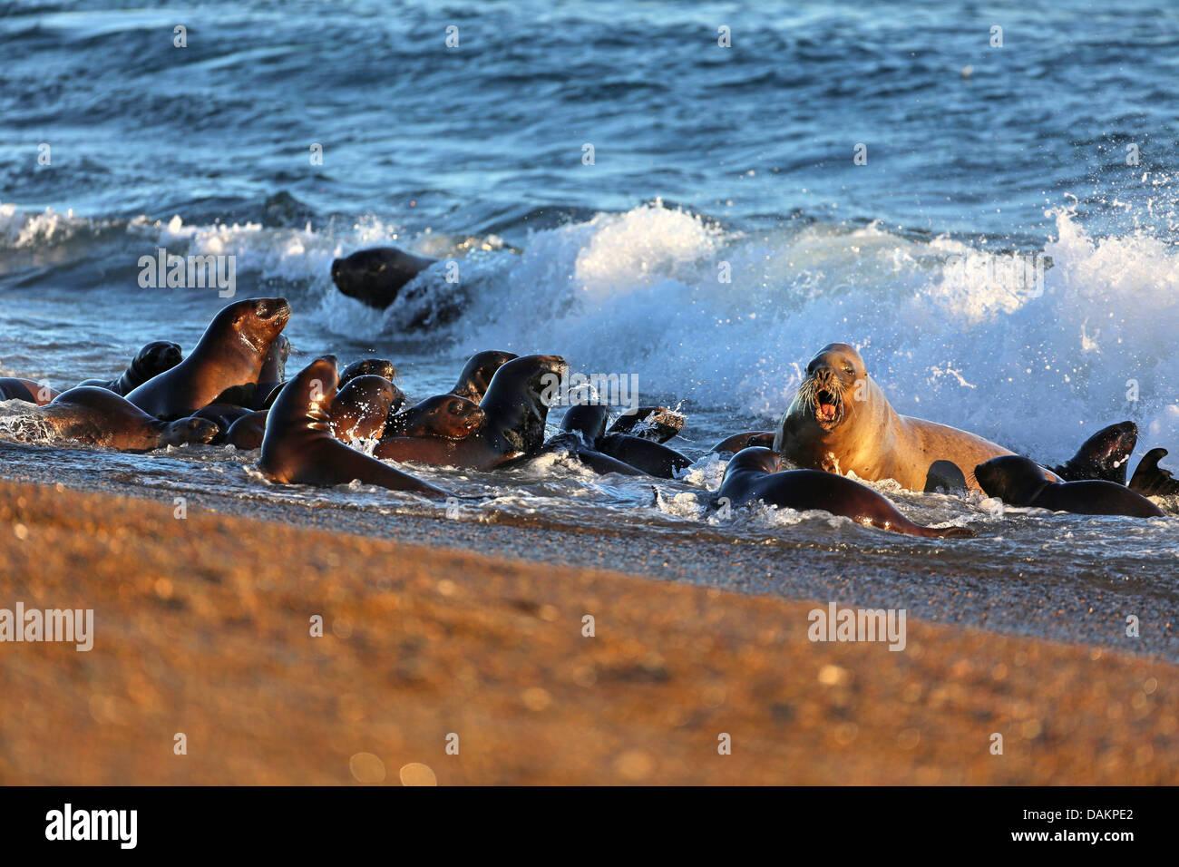 Southern sea lion, South American sea lion, Patagonian sea lion (Otaria flavescens, Otaria byronia), group of puppies Stock Photo