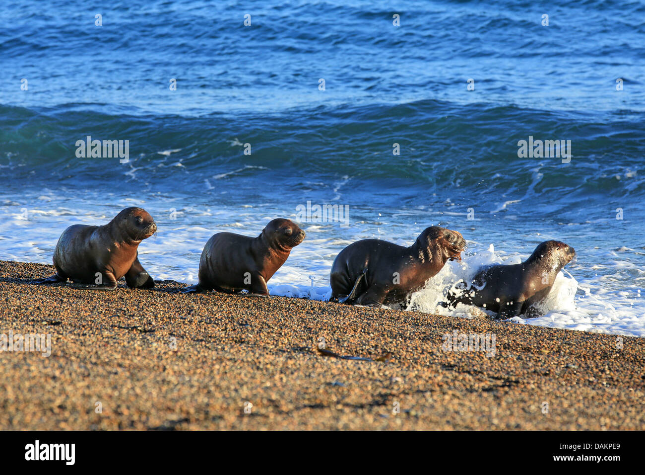 Southern sea lion, South American sea lion, Patagonian sea lion (Otaria flavescens, Otaria byronia), puppies crawling Stock Photo