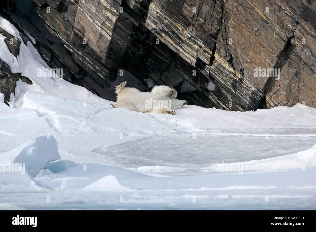 polar bear (Ursus maritimus), polar baer rolling in the snow, Canada, Nunavut - Stock Image