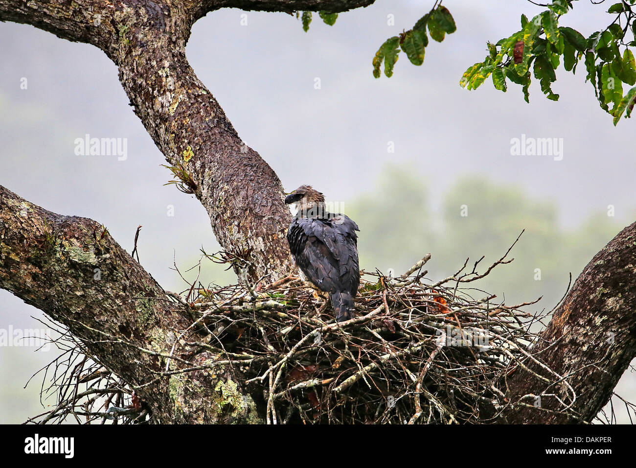 Harpy Eagle Harpia Harpyja Female At The Aerie Wet From The Rain