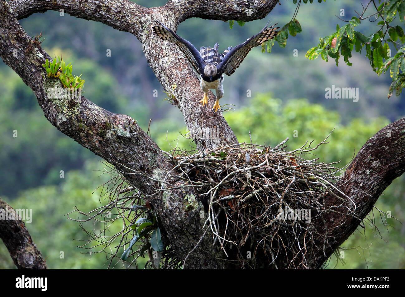 Harpy eagle (Harpia harpyja), female returning to the aerie, largest eagle of the world, Brazil - Stock Image