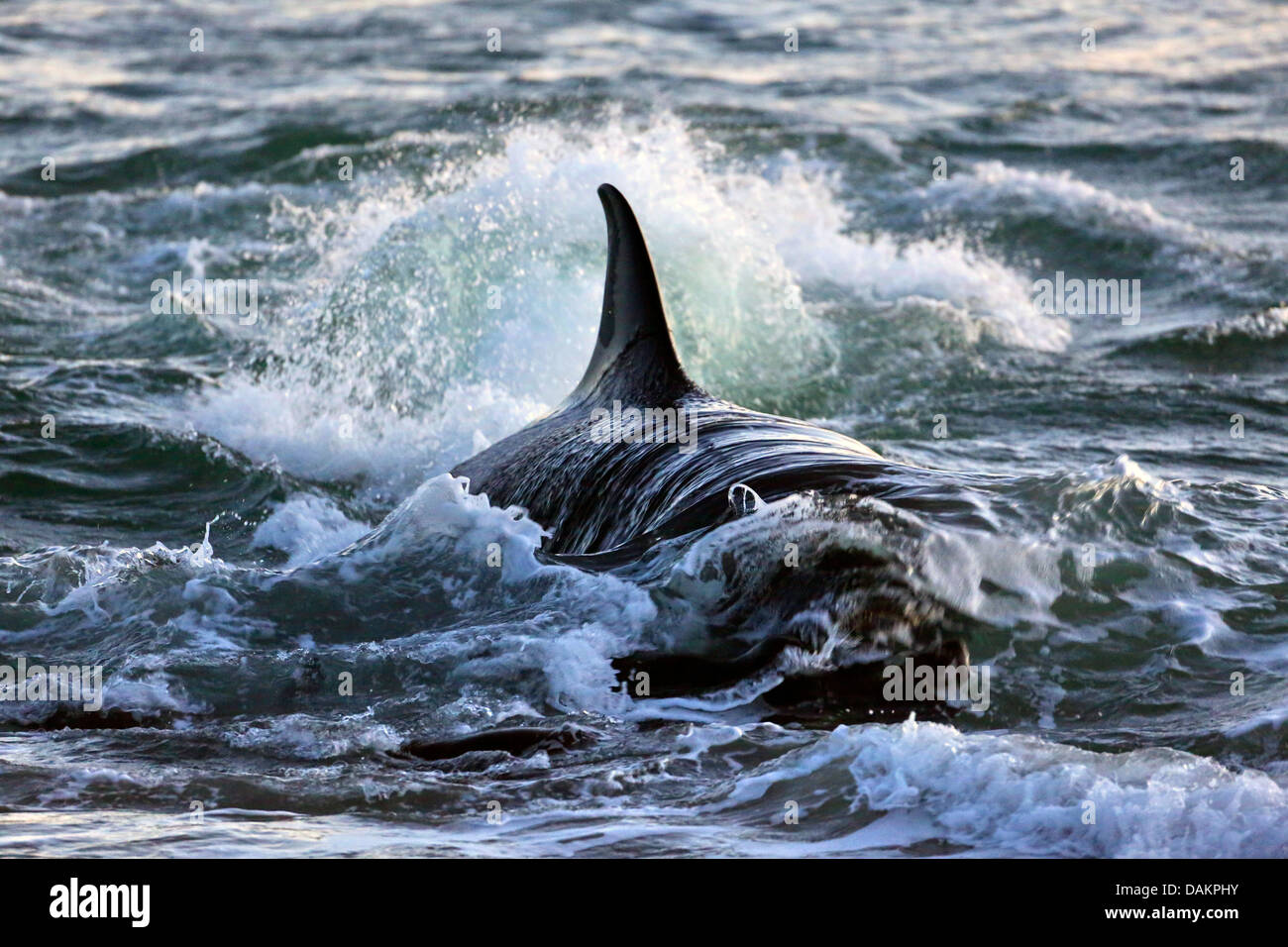 orca, great killer whale, grampus (orcinus orca), attacking a stock