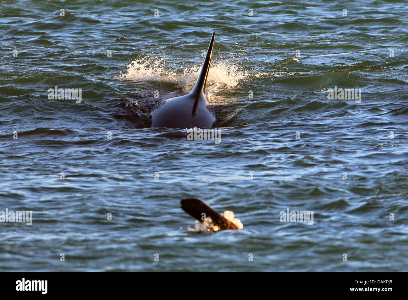 orca, great killer whale, grampus (Orcinus orca), attacking a young Patagonian sea lion, Argentina, Patagonia, Valdes - Stock Image