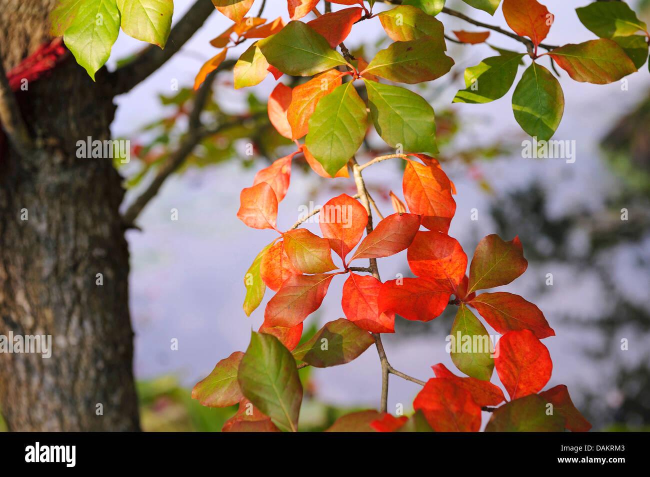 Black gum, Black tupelo, Sour gum (Nyssa sylvatica), autumn leaves - Stock Image