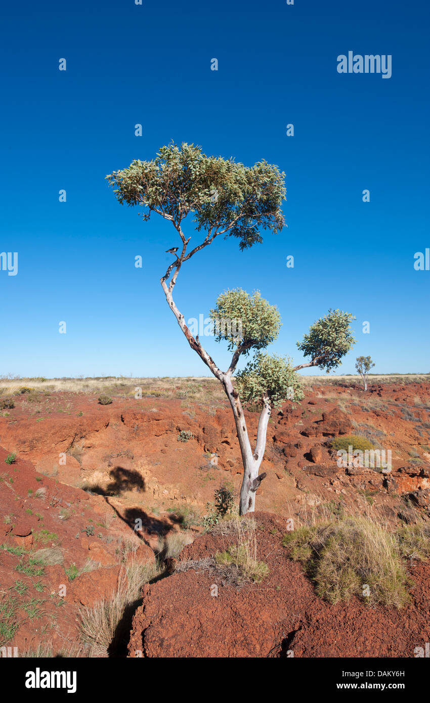 View from the Ngumpan Cliff Lookout over  eroded sandstone cliffs, tall eucalypt trees and the Kimberley's break - Stock Image