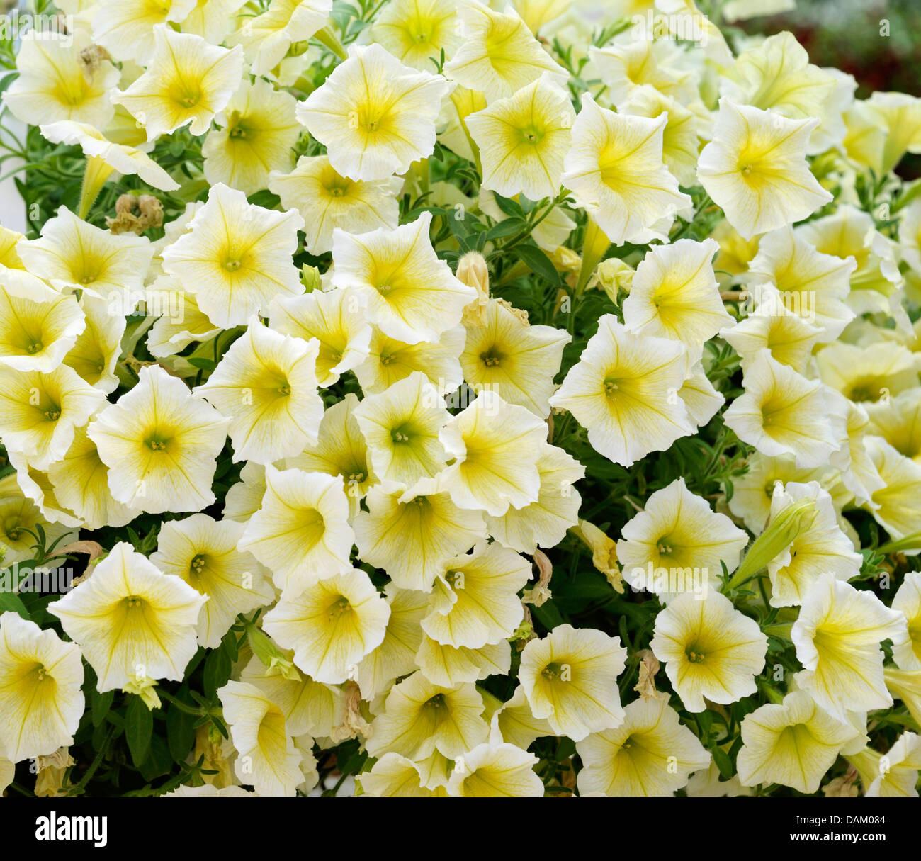garden petunia (Petunia 'Yellow', Petunia Yellow), Cultivar Yellow, blooming - Stock Image