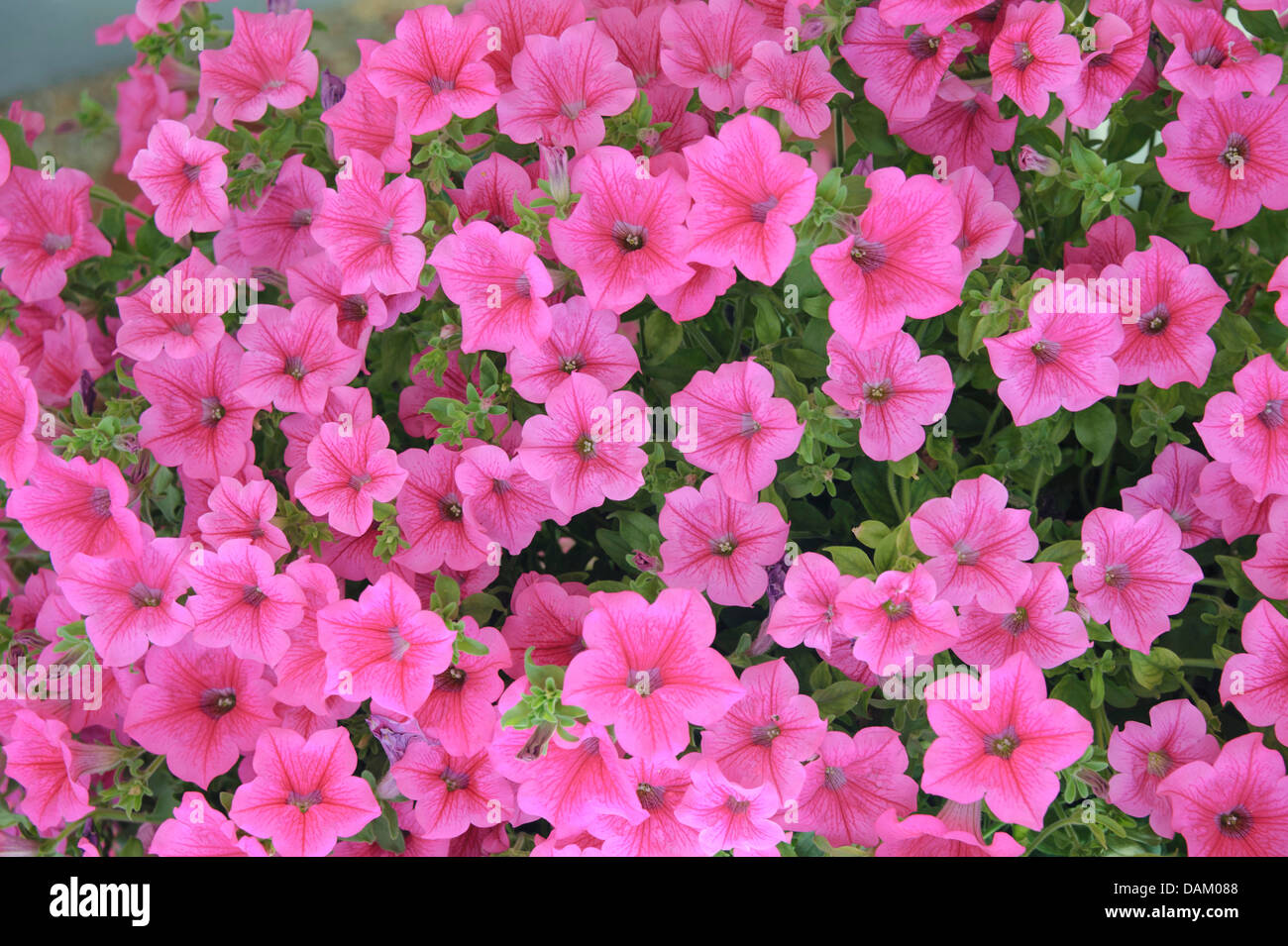 garden petunia (Petunia 'Hot Pink', Petunia Hot Pink), Cultivar Hot Pink, blooming - Stock Image