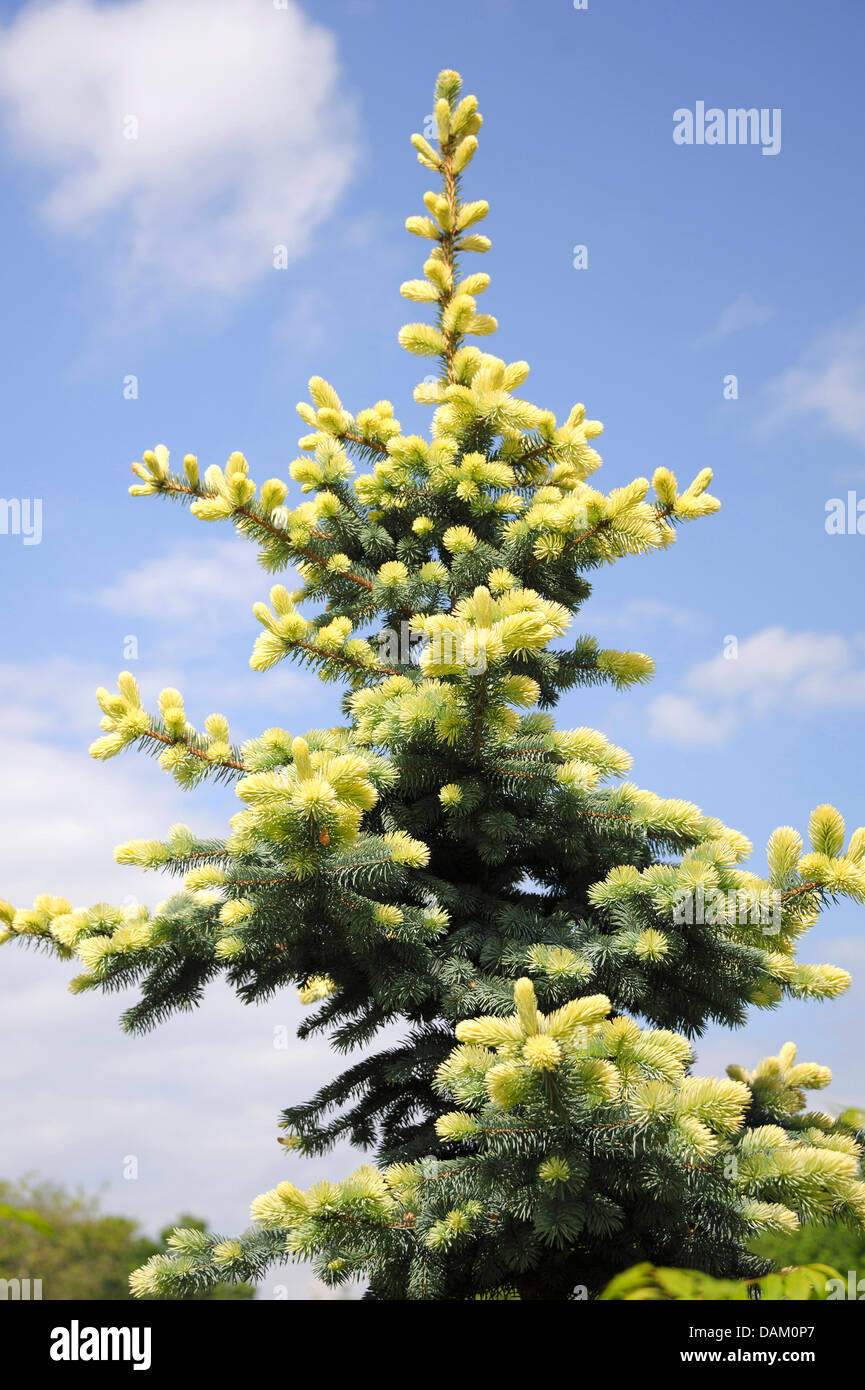 Colorado blue spruce (Picea pungens 'Glauca Albospica', Picea pungens Glauca Albospica), cultivar Glauca - Stock Image