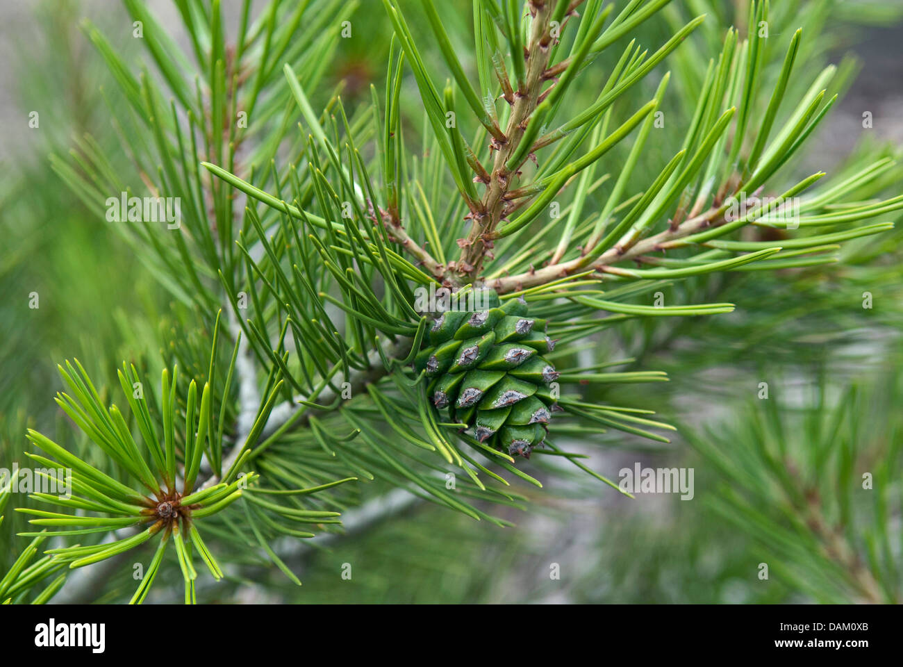 lacebark pine (Pinus bungeana), branch with young cone - Stock Image
